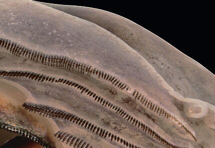 Mundfeld einer Madagaskar-Baumfrosch Kaulquappe, Boophis laurenti (Ausschnitt), Foto: Arne Schulze, HLMD