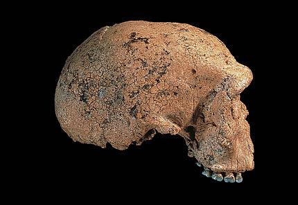 Steinheimensis Hans Lumpe, SMNS
