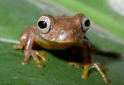 Dieser kleine Laubfrosch ist von der Karibikinsel Tobago im Norden bis nach Argentinien im Süden zu finden.