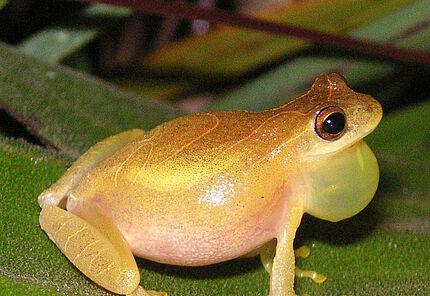 Weit verbreitete Tierarten wie Dendropsophus minutus können oft nur durch internationale Kooperationen umfassend erforscht werden.