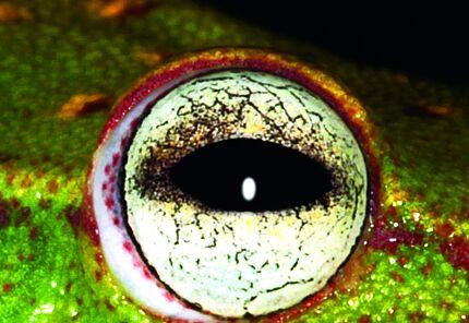 Gepunkteter Laubfrosch aus Bolivien Foto: Arne Schulze, HLMD