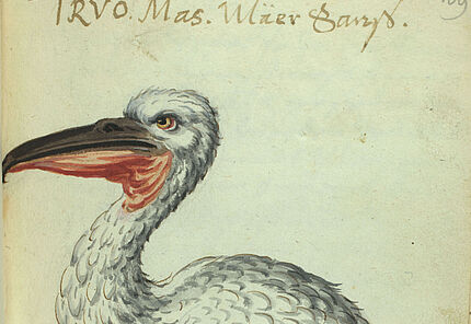 Thesaurus Picturarum, Krauskopfpelikan-Pelicanus crispus, Aquarell, Bd. 29, Blatt 109r © ULB Darmstadt