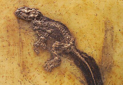 Scheinraubtier, Lesmesodon behnkeae