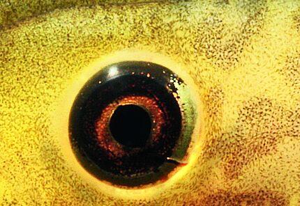 Kopf einer Paradox-Frosch Kaulquappe, Pseudis paradox (Ausschnitt), Foto: Arne Schulze, HLMD