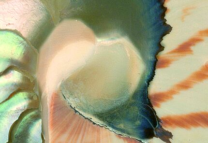 Nautilus (Ausschnitt), Foto: Georg Oleschinski, Steinmann Institut, Universität Bonn