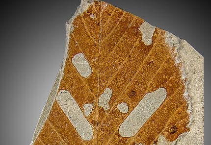 Fossil überliefertes Blatt eines Buchengewächses (Fagus cf. pliocenica) aus dem Pliozän von Willershausen (GZG.W 21920), mit eindeutig erkennbarem Lochfraß, Foto: Torsten Wappler, HLMD